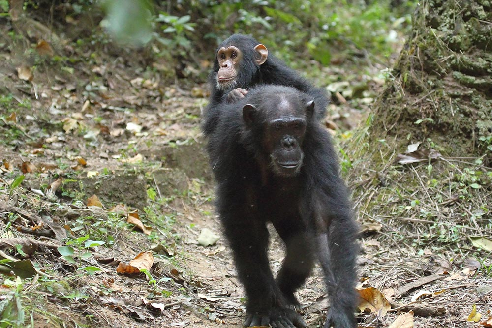 Young chimpanzee (Pan troglodytes) on the back of his mother in Gombe Stream National Park, Tanzania