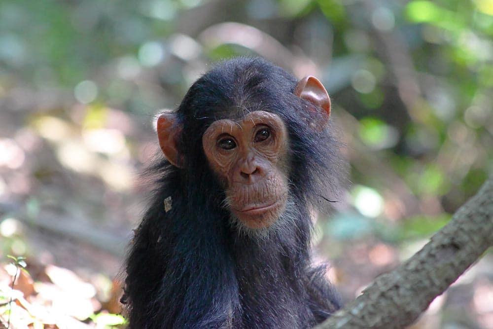 Portrait of a baby chimpanzee (Pan troglodytes) in Gombe Stream National Park, Tanzania