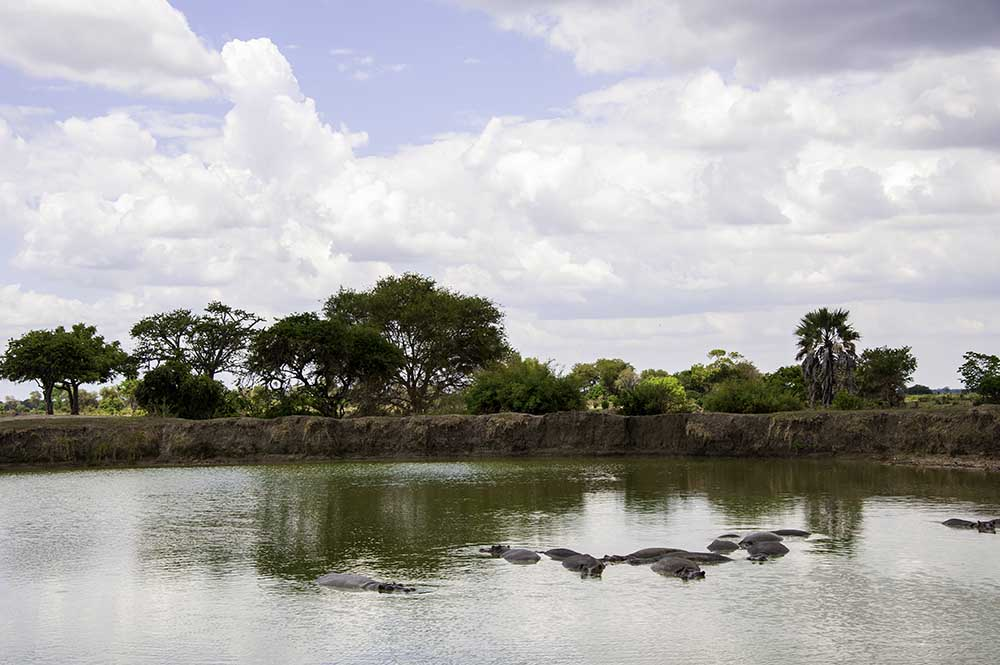 The hippos in Mikumi National Park of Tanzania.