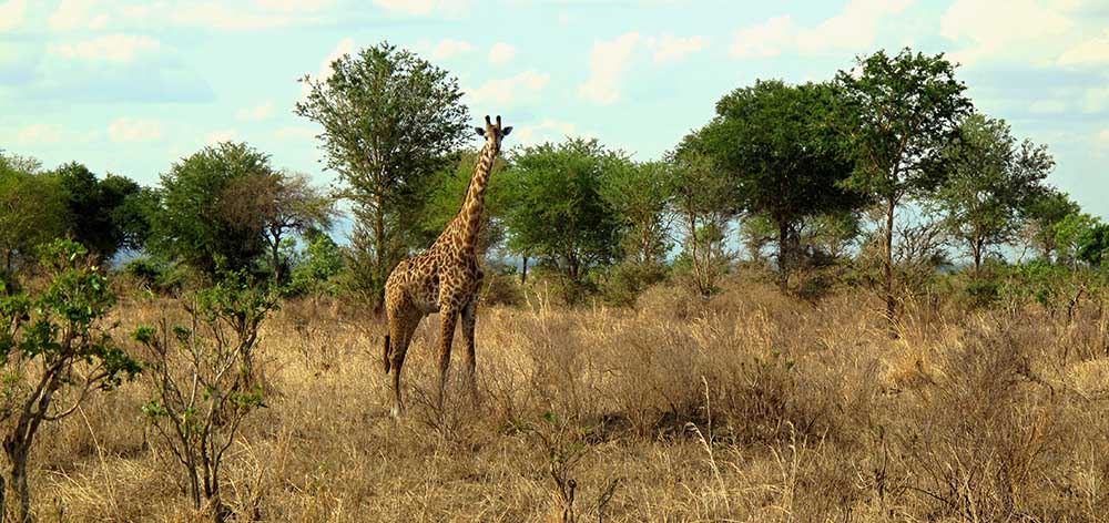 10378244 - giraffe in mikumi national park