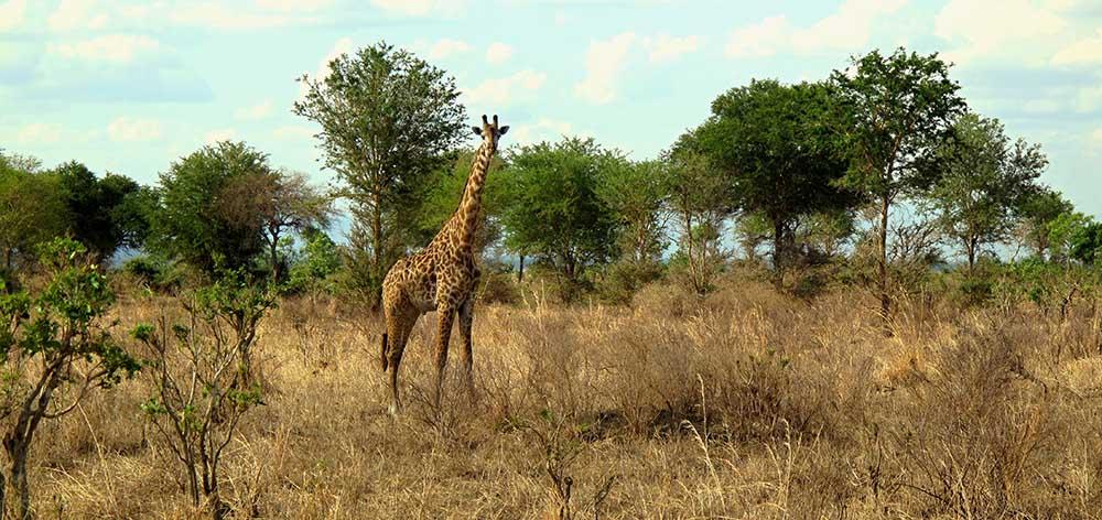 10378244 - giraffe in mikumi national park