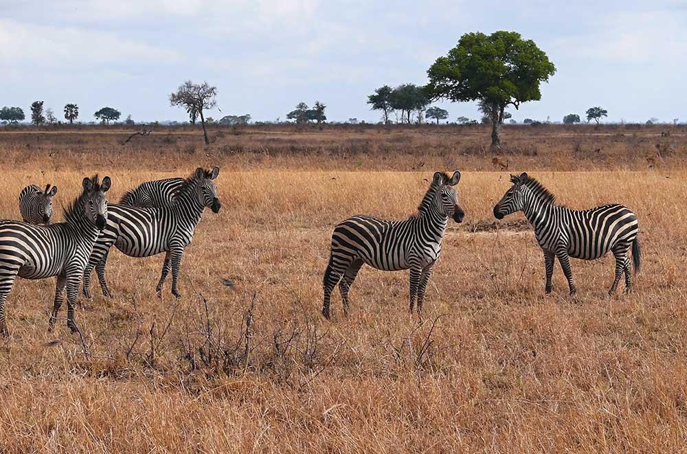 10509498 - zebras in mikumi national park in tanzania