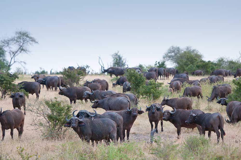 21223495 - herd of african buffalos in the nationalpark selous game reserve in tanzania
