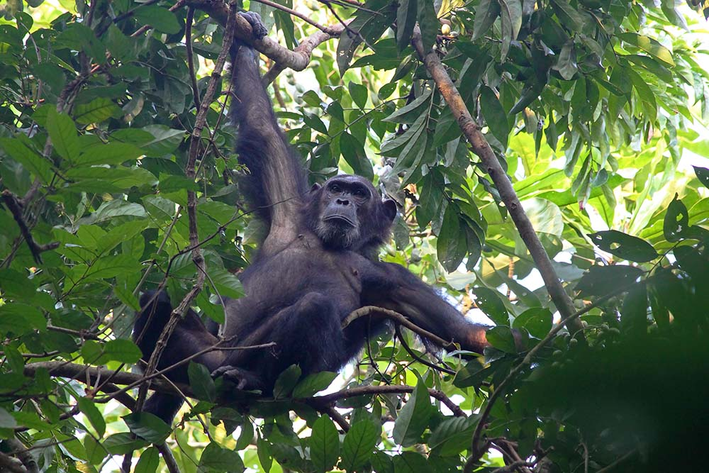 22865698 - male chimpanzee (pan troglodytes) clinging to a tree in gombe stream national park, tanzania