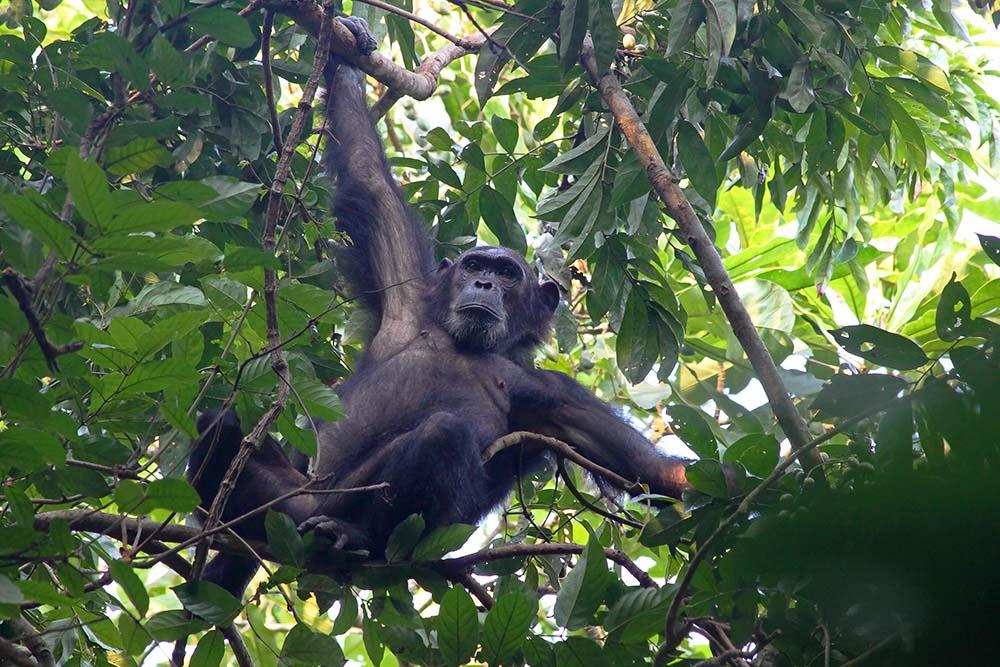 22865698 - male chimpanzee (pan troglodytes) clinging to a tree in gombe stream national park, tanzania