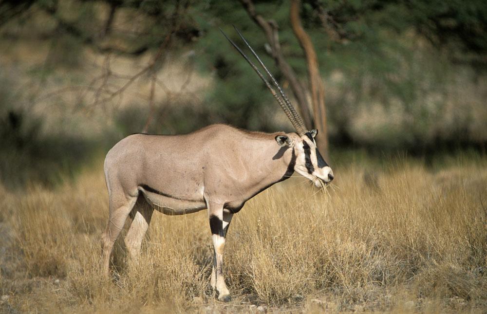samburu-oryx